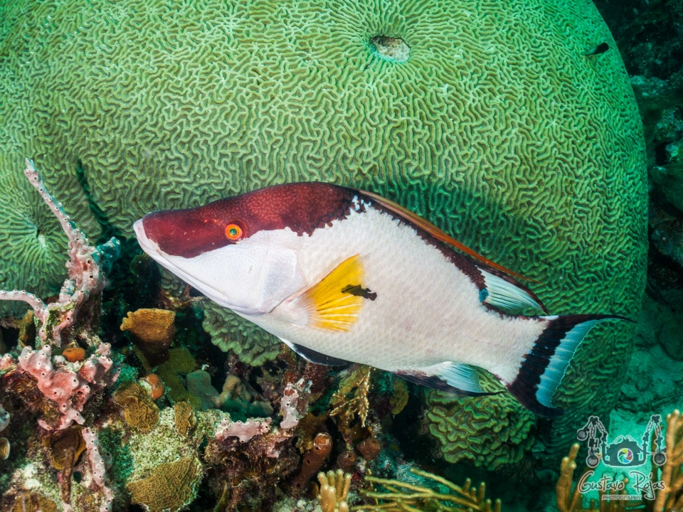 Hogfish swimming above a coral reef