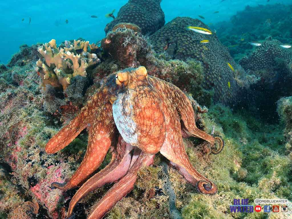 octopus vulgaris hunting on coral reef Los Roques