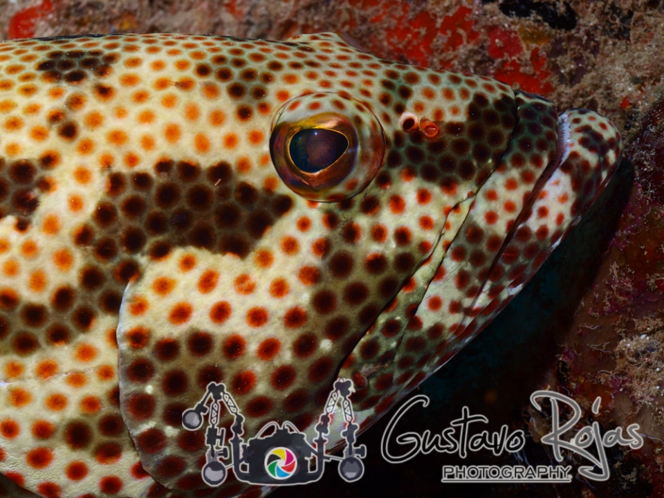 Close-Up Epinephelus Adscensionis
