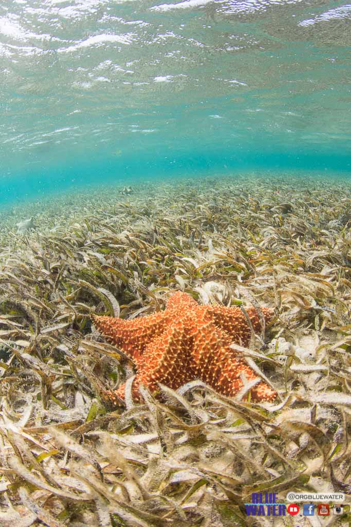 STARFISH Cushioned Star (Oreaster reticulatus) in seagrass,